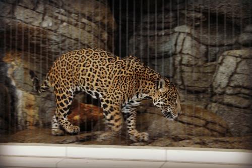 Lincoln Park Zoo Jaguar