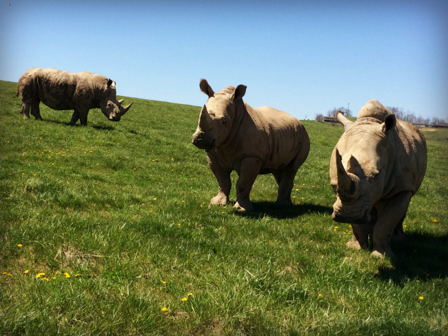 The Wilds Southern White Rhinoceros